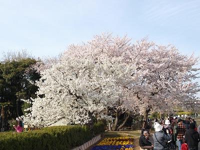 ピンクと白の桜♪