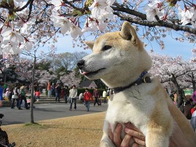 桜とパンチ