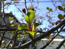 3月15日海棠