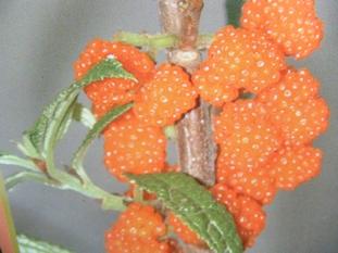 ヤナギイチゴ
