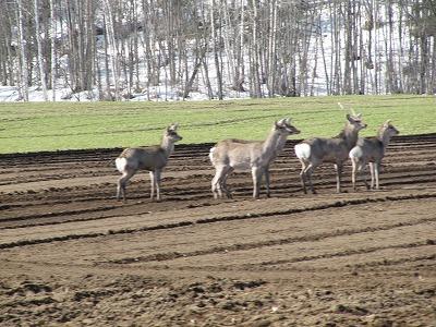 鹿の団体さま