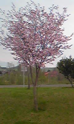 町の桜。。。