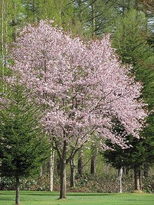 ビルケの桜
