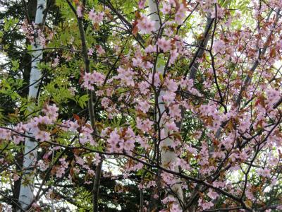 白樺から?!桜?