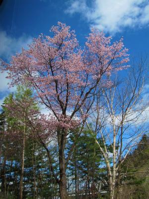 温泉ホテルさんの桜