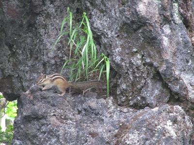 岩の上にシマリスちゃん♪