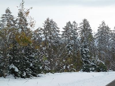紅葉が雪の下
