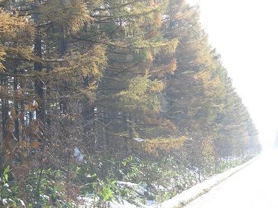 カラマツ黄葉