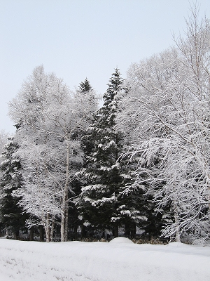 s-白樺はより白。