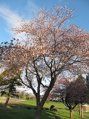 s-町の桜