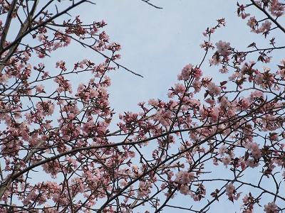 s-白金桜