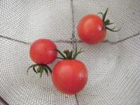 トマト初収穫