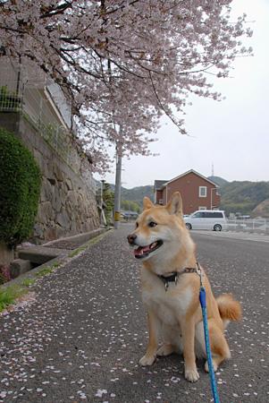 奇跡のお座りwith桜