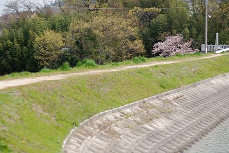 いつも愛でてる池の土手の桜