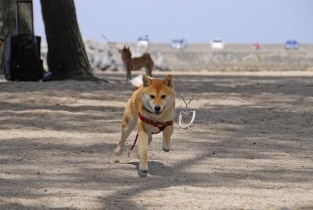 ちいちゃん走る!