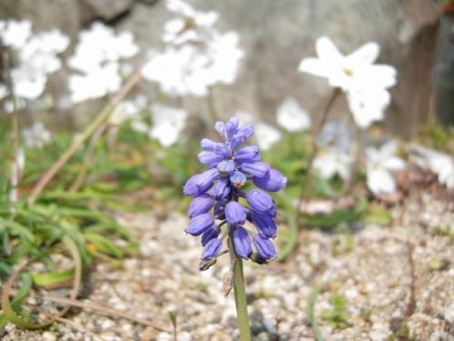 紫の雑草?