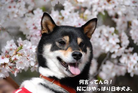 桜と日本犬は合うよね~