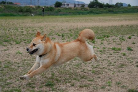 飛行犬あきと!