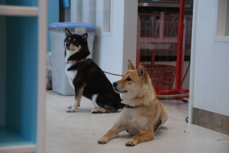 柴犬は外にリード係留でした(汗)