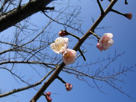 これは梅の花でしょか