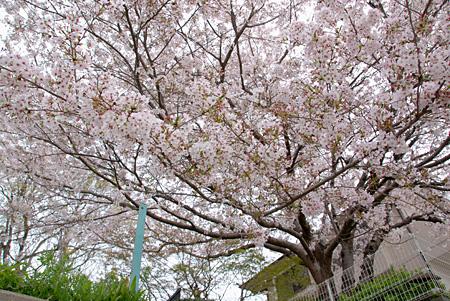 他所様のお家ですけど、かなり立派な桜です