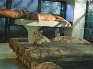 ライオンの赤ちゃん2