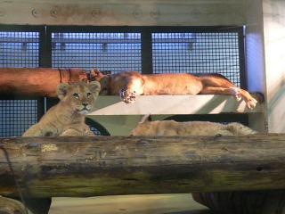 ライオンの赤ちゃん3