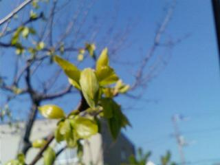 新芽(柿)