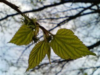 透ける葉っぱ