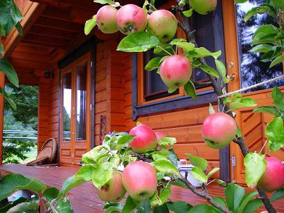 リンゴ(8月)