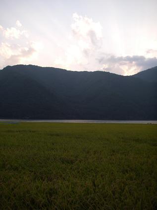 湖畔の田んぼ