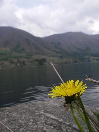タンポポと近所の湖