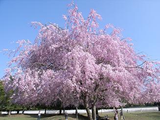奈良公園しだれ桜
