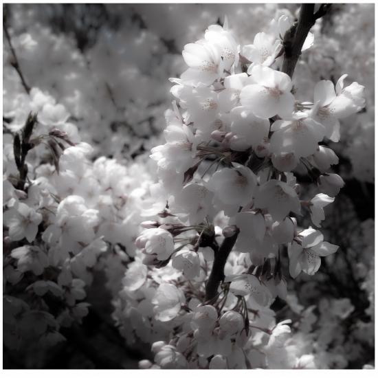 のほほん桜