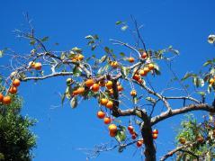 青空柿。縮小