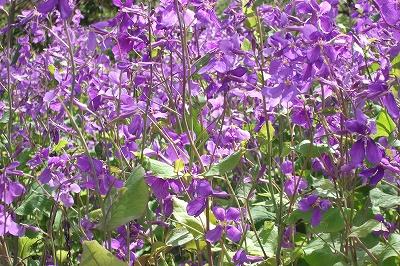 ss大根の花