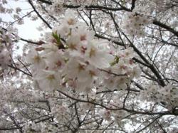 週末の桜①