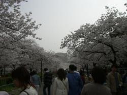 週末の桜②