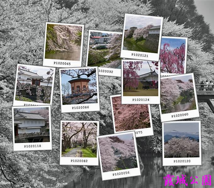 桜、霞城公園