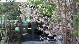 ハービスの桜