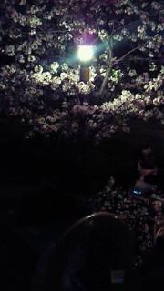 うちの夜桜