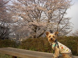 去年桜テト
