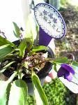 スミレの花4
