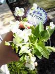 スミレの花3