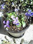スミレの花2