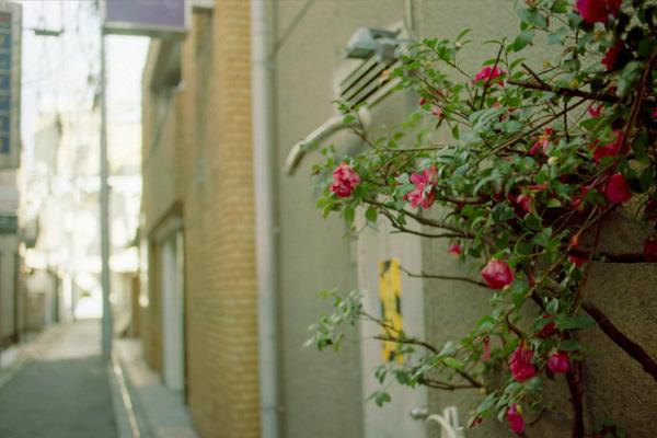 路地裏の椿/祇園町北側