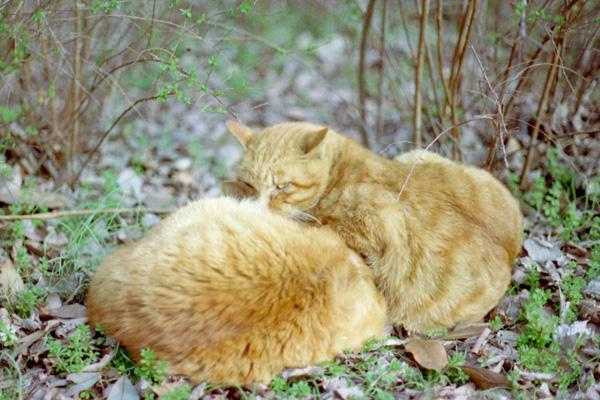 チャトラ猫団子