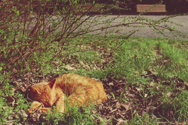 チャトラの昼寝