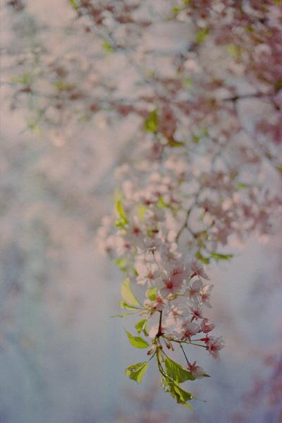 河津桜/平野神社