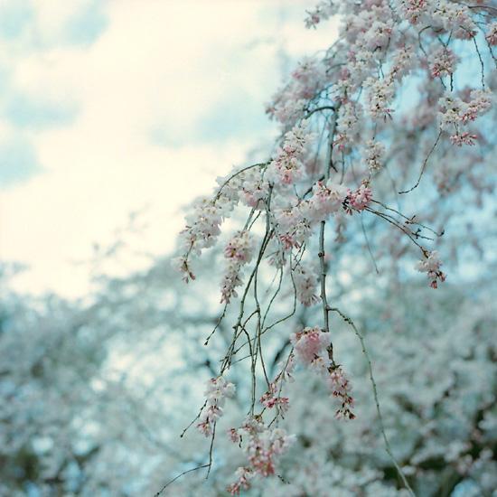糸桜/2010.3.17